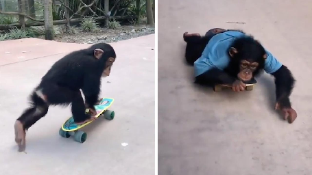 PLAYFUL RESCUE CHIMPANZEE GOES MONKEYING AROUND ON SKATEBOARD