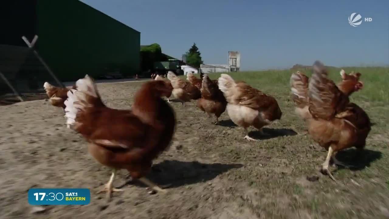 Hühner in Bayern: Über eine Milliarde Eier gelegt